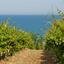 O que são uvas autóctones?